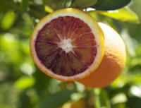 Redbelly Blood Oranges